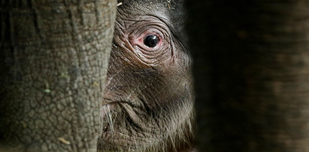 A new born elephant at the Zoo in Berlin, Wednesday, Aug. 15, 2012. (AP Photo/Markus Schreiber)